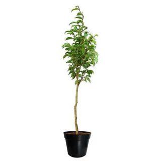Ficus Benja Boleado